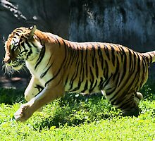 Tiger by Rabecca Primeau