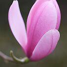 Magnolia sprengeri Diva by Sarah-Jane Covey