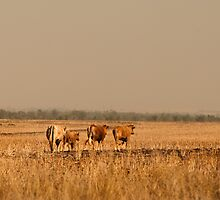 Cows braving the heat of the day by bonsta