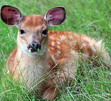 A Baby Fawn by Pam Moore