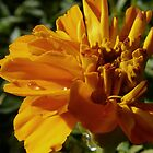 marigold in the autumn sun by tego53