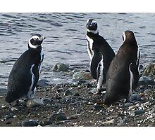three penguins bound for sea Photographic Print