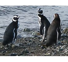 three penguins bound for sea Photographic Print