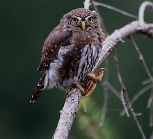 NORTHERN PYGMY OWL WITH A PRAYING MANTIS FOR LUNCH by Michael Beers