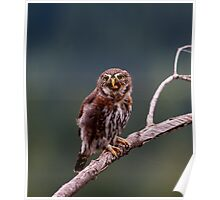 NORTHERN PYGMY OWL SWALLOWING A VERY LARGE PRAYING MANTIS WHOLE Poster