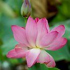 The Lovely Lotus - Mareeba Wetlands by Jenny Dean