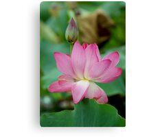 The Lovely Lotus - Mareeba Wetlands Canvas Print