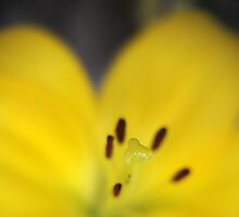 Yellow Stamen with Lensbaby  by Barry Culling