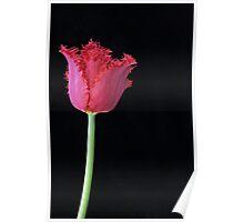 Tulip 'Barbados' Poster