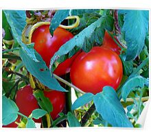 Ripe Red Tomatoes Poster