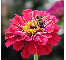 Bee Feeding On A Flower Photographic Print