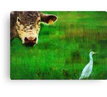 you gotta love a cow and his egret : Charolais Cattle  Canvas Print