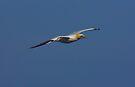 Gannet 1 by SWEEPER