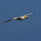 Gannet 1 by SWEEPER