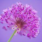 Allium 'Purple Sensation' by Sarah-Jane Covey