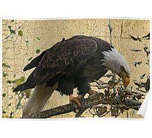 Bald Eagle Textured Poster