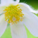 Pulsatilla vulgaris alba by Sarah-Jane Covey