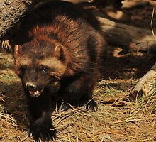 Wolverine, Zoo Montana by Donna Ridgway