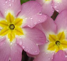 Primroses by Sally J Hunter