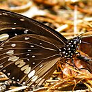 Australian Crow butterfly - male by NaturalCultural
