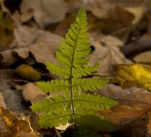 young and fresh fronds of fern in the forest floor by Viento