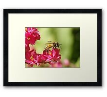 Profile of a Bumble bee sitting on a Red Bud flower Framed Print