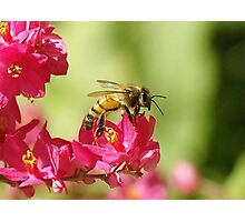Profile of a Bumble bee sitting on a Red Bud flower Photographic Print