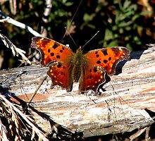 Green Comma  by swaby