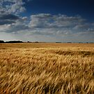 barley fields - ii by Heath Dreger