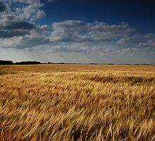 barley fields - ii by Heath Dreger