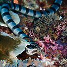 Banded sea snake by muzy