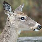 Deer by Robin D. Overacre