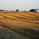 barley swaths by Heath Dreger