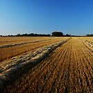 oat swaths by Heath Dreger