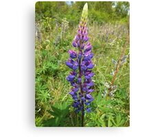 Luscious Lilac Lupin Canvas Print