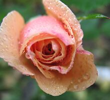 Frothy Apricot Rose by MarianBendeth