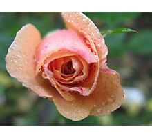 Frothy Apricot Rose Photographic Print