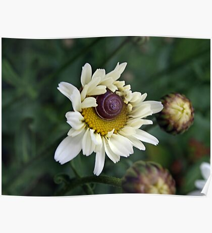 A Snails Home - In A Daisy Poster