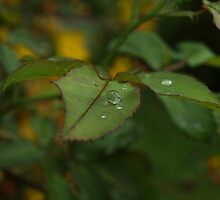 Teardrops On A Leaf - After The Storm by elise1bloom