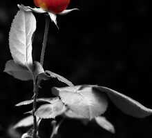 The Lonely Rose by SquarePeg