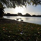 Swan love-Western Australia by Grin