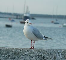 seagull in East Cowes Isle of Wight  by dustyparasol