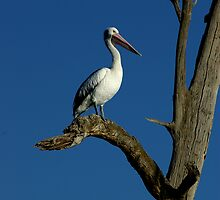 Pelican of the Murray River by Michael Humphrys
