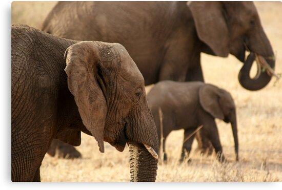 Elephants - Tarangiri National Park, Tanzania - 845, 10/11/10 by timstathers