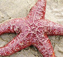 Live StarFish Find....Neptune Beach, outside Yachats, Ore by trueblvr