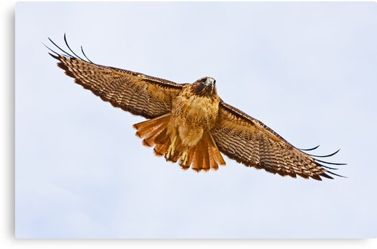 1010092 Red Tailed Hawk by Marvin Collins