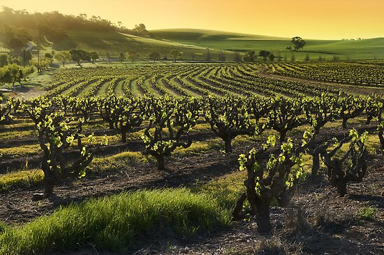 Barossa Valley Vineyards by karfarzel