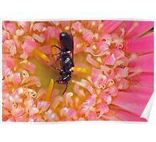 Baby Black Hornet Inside a Gerbera Poster