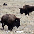 Three Buffalo by Alyce Taylor
