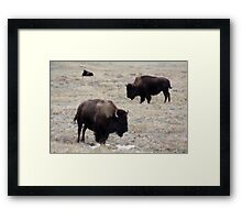 Three Buffalo Framed Print